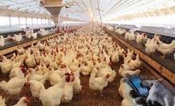 امکان دریافت مستقیم نهادهها برای مرغداران خرد فراهم شد/ کاهش قیمت گوشت مرغ قطعی است