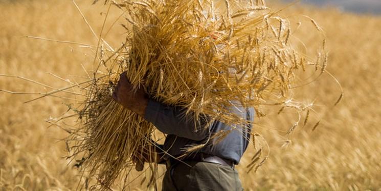 دولت برای تامین ذخایر استراتژیک دست به واردات گندم زد/ کاهش ۲۵ درصدی تحویل گندم به مراکز خرید دولتی