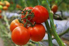 عامل گرانی گوجه فرنگی، کارخانجات تولید رب یا کمبود کشت؟