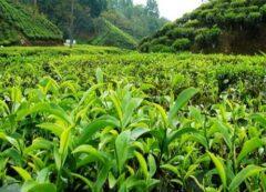 ۵۰ درصد باغات چای کشور تبدیل به ویلا شدند/ ۱۰ هزار تن محصول را با ۹۷ سنت صادر کردیم/ از آلمان چای وارد میکنیم