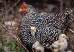 قطعی برق و گرمای بیسابقه دَمار از روزگار مرغ درآورد