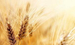 ۵۱ درصد گندم مورد نیاز از پنج استان خریداری شد