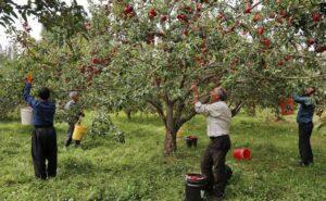 برداشت سیب قره قرمز – اهر