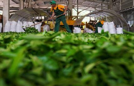 خرید برگ سبز چای تا پایان مهر ادامه دارد؛ پرداخت ۸۵ درصد مطالبات چایکاران