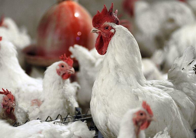 سقوط قیمت خرید مرغ از مرغداران به زیر نرخ مصوب