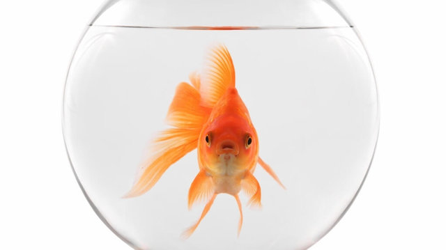"""ماجرای """"کرونا"""" و ماهی قرمز چینی عید"""