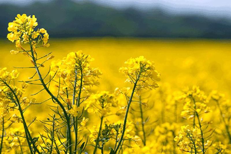 واردات حدود ۸۵ درصد از نیاز کشور به دانههای روغنی/ اجباری کردن الگو کشت برای تغییر شرایط کشاورزی