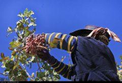 برداشت پسته در دامغان به صورت سنتی انجام میشود
